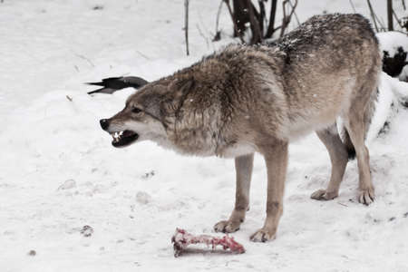 Predatory wolf roars angrily, baring his teeth. she guards a piece of meat from enemies, afraid of losing prey. snowing. wolf behavior in winter.