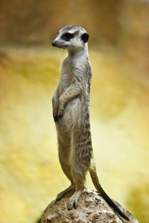 Attentive cute meerkat worth column. Watchful meerkat on a yellow-orange background. Symbol of care and diligence.