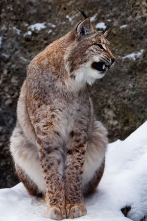 A upright beautiful and slim wild cat Lynx opens its mouth growling. Dangerous and formidable. the cat sits in the snow growls and bares his teeth. Banque d'images
