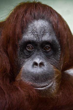 Phlegmatic sad face orangutan, sad philosophical view.