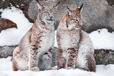 Proudly sit next. Two lynxes in the snow in winter, this is a friendly couple; slender and beautiful animals are very similar to each other.