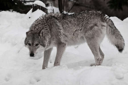 The she-wolf looks angrily, the fur is disheveled with anger. Wolves in the snow in winter.