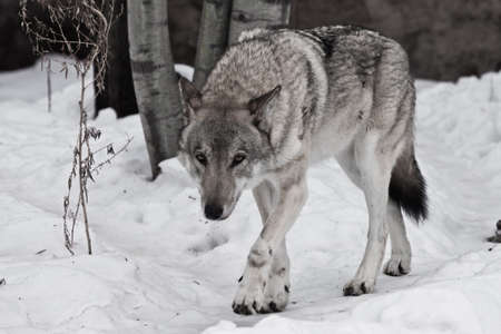 Powerful experienced male wolf with a big powerful head and body, sneaks up and looks. A wolf in the snow.