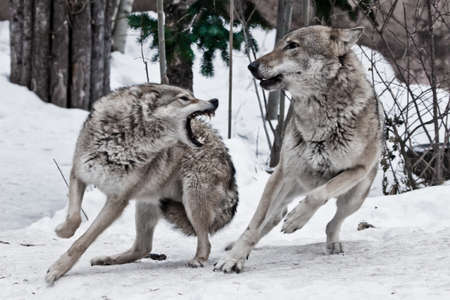 A female wolf snaps at a male wolf and he deftly dodges a bite. A fight during the wolf rumble (weddings), emotions malice and anger white snow background.