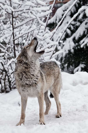 Song of the wolf. A wolf (female wolf) howls (howling, screaming) lifting its muzzle upwards and opening its mouth in a winter snow-covered forest,
