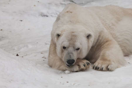 He sat down on his paws and looked at you. Powerful predator polar bear lies in the snow, close-up Stock fotó