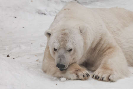 lies with his head on his paw. Powerful predator polar bear lies in the snow, close-up