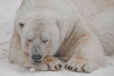 sleeps closing his eyes and resting his head on his paw. Powerful predator polar bear lies in the snow, close-up