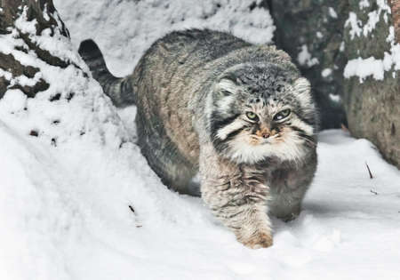 Beautiful but severe fluffy and angry wild cat Manul threateningly goes sideways, white snow background