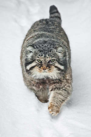 A beautiful but severe fluffy and angry wild cat manul is walking in the snow right at you full face, a white snow background. Foto de archivo