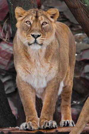 A powerful, proud female lioness is standing full face, a beautiful body of a predator, the eyes look on you.