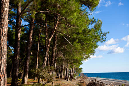 Pine forest by the blue sea in the legendary Colchis. Abkhazia, the Caucasus.