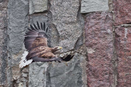 White-tailed eagle flies widely spreading its wings against the background of rocky stones.