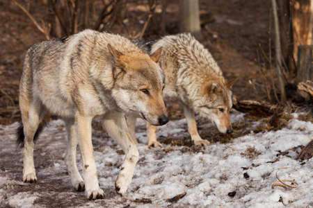 A pair of wolves (husband and wife, boyfriend and girlfriend) walk together through the forest (love).