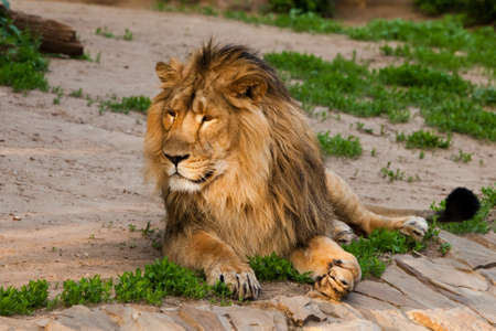 A handsome male lion with a gorgeous mane close-up against the backdrop of greenery, a powerful beautiful animal the lion king. sunlit - good light