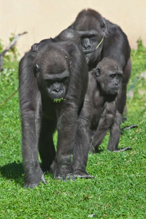 The family of gorillas brother, male and mother with a baby go on the green grass, the family of anthropoids goes in front - evolution.