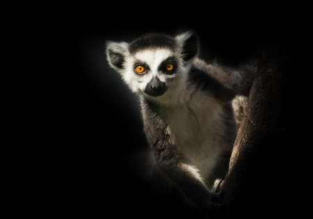 Ring-tailed lemur in the dark sits on a branch - big eyes will look forward.