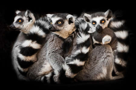 animals (ring-tailed lemur) sleep in a group, eyes from a ball of hairy bodies, a symbol of sleep and nightmares glow from the darkness.