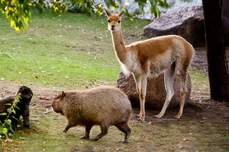 Llama and capybara - animal symbols of South and Latin America graze peacefully on a green lawn together. Stock fotó
