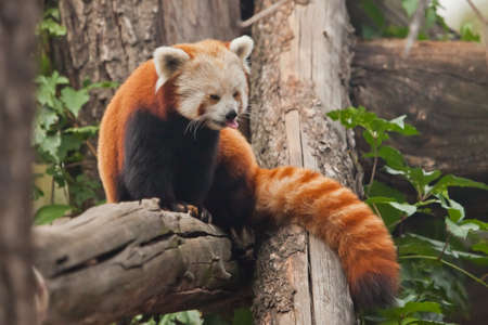Shows the language. Red Panda (cat bear) - a cute little fluffy red animal (similar to a raccoon) from the mountainous areas of China climbs trees.