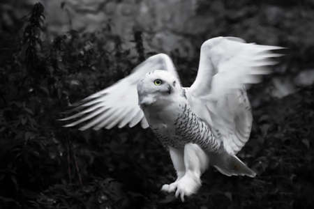 Flaps its wings on a black background. White polar owl in summer, wild beautiful bird of prey.