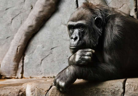 Pensive pose, hand props his head. Monkey anthropoid gorilla female. a symbol of brooding rationality and heavy thoughts.