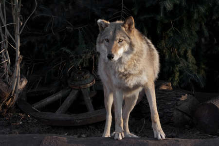 A she-wolf female beautifully lit by the setting sun, a beast in profile.