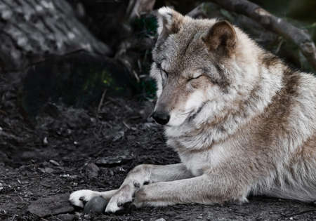 squinting. she-wolf female lies beautifully on the ground, imposingly lies. Powerful graceful animal in the forest in autumn, profile.