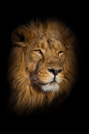 Powerful lion male with chic mane portrait close-up.