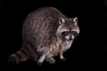 rogue on a black background. Tailed raccoon with a red tongue. A cute fluffy raccoon with a cute muzzle sits lit by the sun. isolated black background.