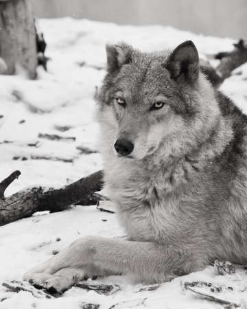 The beauty in profile is large imposingly. Gray wolf female in the snow, beautiful strong animal in winter.