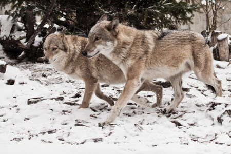 Wolf family husband and wife, bikers family happiness. in the snow, beautiful strong animal in winter.