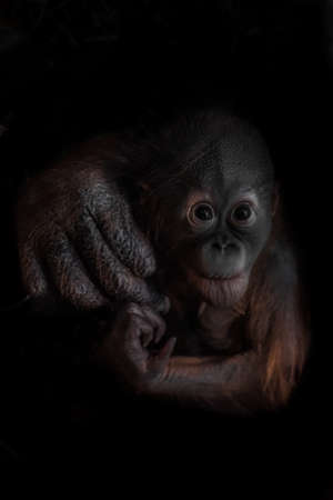 An optimistic and curious orangutan cub, his mother's hand represents care and support. Black background