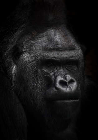powerful male gorilla portrait on a black background, brutal face.