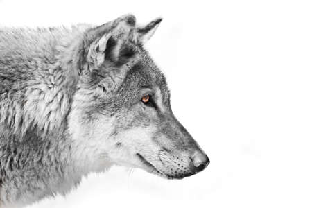 Black and white with colored eyes, a view of the distance Split a wolf of male in profile on a white background Banque d'images
