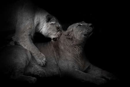 Female lionesses are playing, one friend bites the neck passionately