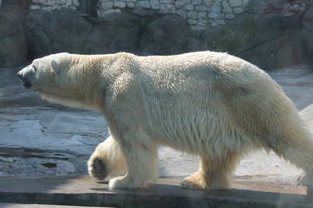 White bear.  photo