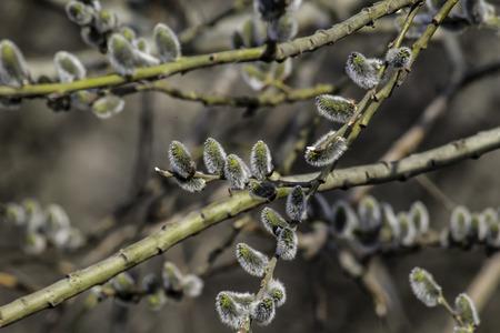salix fragilis: the plant, spring, holiday,palm Sunday,early spring, Park, Stock Photo