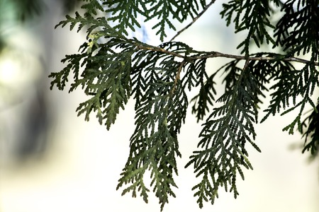 Wood, thuja, spring, evergreen Park, the alley photo