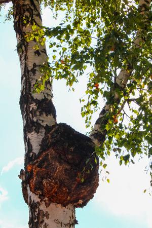 天然チャーガ、白樺と他の木の幹に痛みを伴う伸長キャップ 写真素材