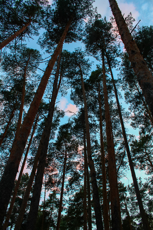 pleasure: Pine pine forest rustles, grows on pleasure to us Stock Photo