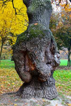 outgrowth: Chaga, a cap a painful outgrowth on trunks of birches and other trees Stock Photo