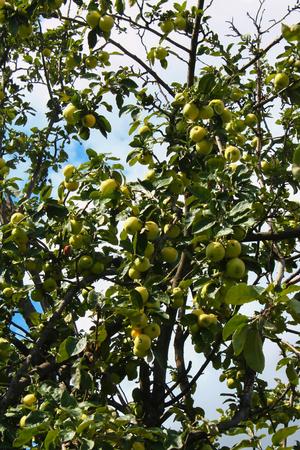 arbol de manzanas: manzano con manzanas zrevshimi contra el cielo azul