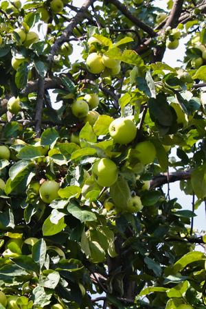 albero da frutto: albero di mele con le mele zrevshimi contro il cielo blu