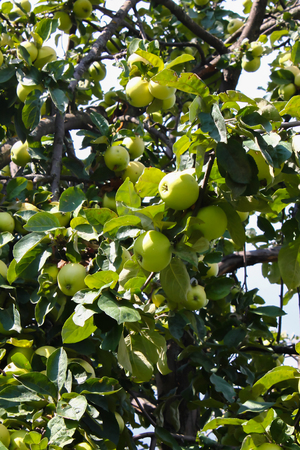 manzana verde: manzano con manzanas zrevshimi contra el cielo azul