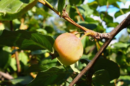 Apple tree: albero di mele con le mele zrevshimi contro il cielo blu