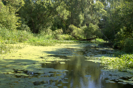 A small creek overgrown with duckweed occurs near Moscow