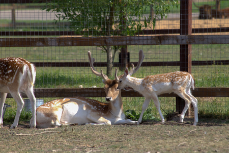 paddock: Deer resting in the paddock of the private zoo of Moscow