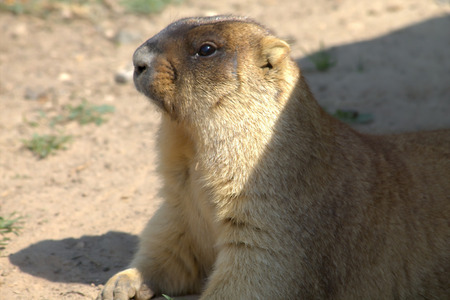 hoary: Marmot basking in the sun in the private zoo of Moscow