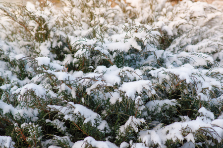 thuja occidentalis in winter in the snow closeup